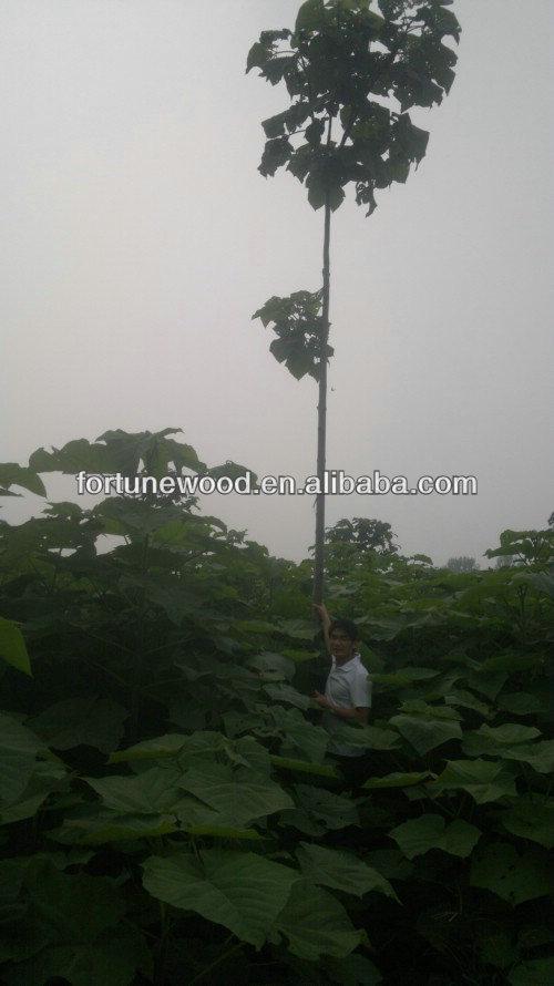 paulownia tree 038
