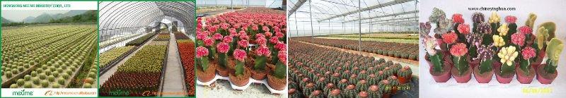 indoor flowering cactus (Zebra Haworthia plants)