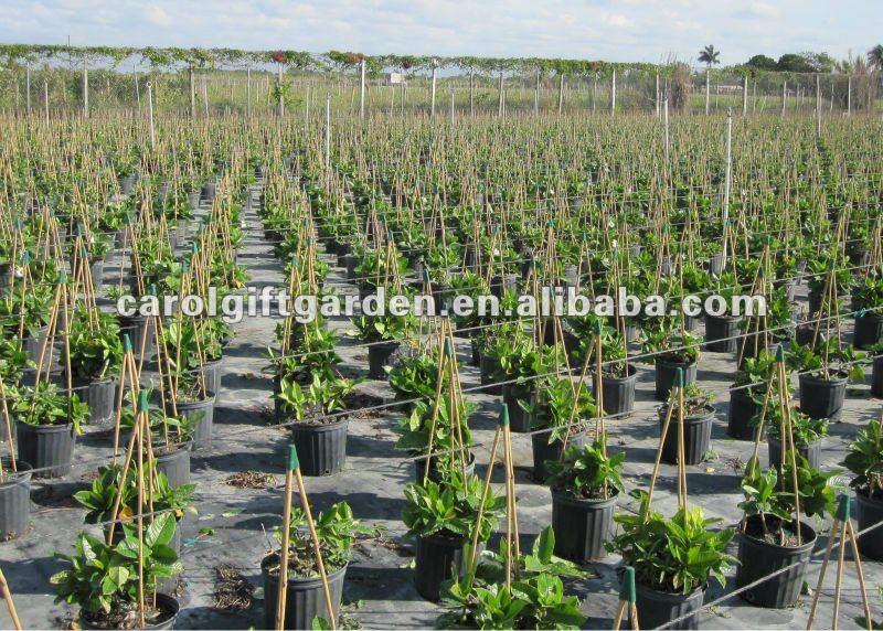 trelica bambu jardim : trelica bambu jardim:Bamboo Tripod Trellis