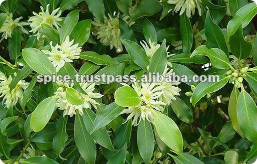 Pimpinella Anisum Seed Pimpinella Anisum Anise For