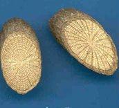 Anti-rheumatic Sinomenine Caulis Sinomenii Root Extract