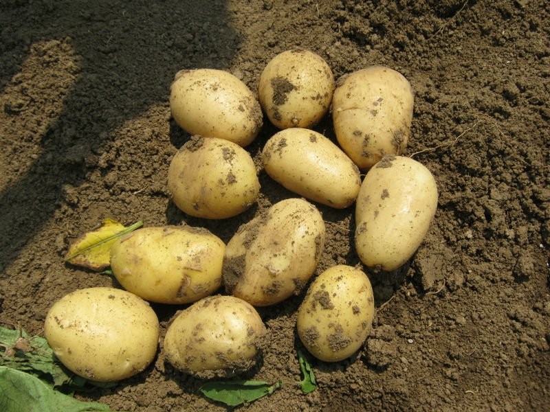 sell potato direct farm