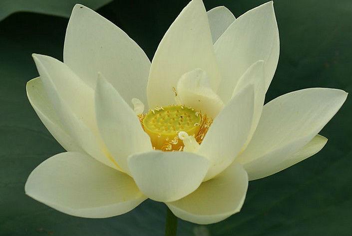 Top Dried Lotus Seed, Lianzi, Herbal Tea, Sun-Dried, Clear Heat