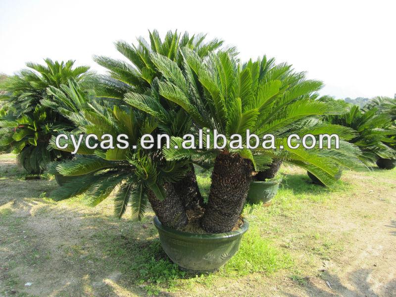 Cycas Revoluta uk Cycas Revoluta,big Bonsai