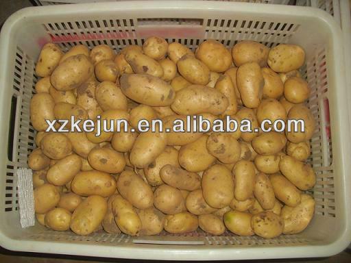 2013 200g Holland Potato In Bulk Quantity