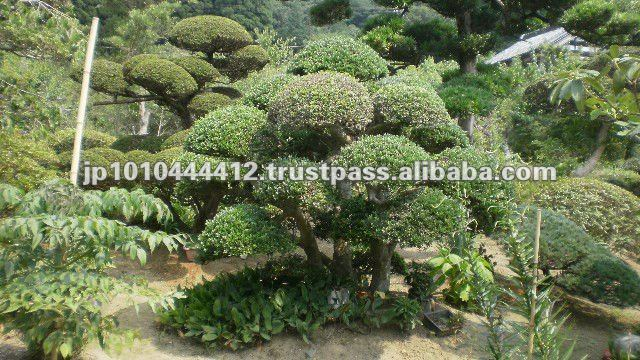 Japanese Boxwood Shrubs for Sale http://arabic.alibaba.com/product-tp/japanese-pine-tree-of-large-bonsai-outdoor-plants-131575778.html
