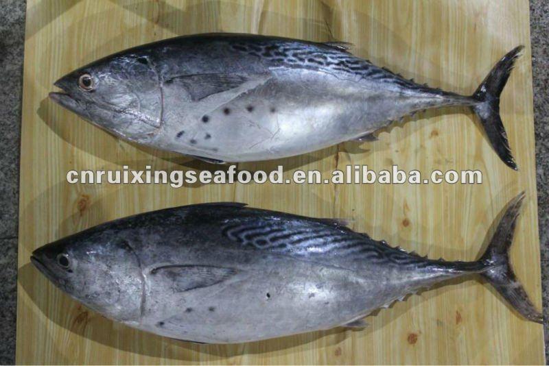 Eastern little tuna - photo#12