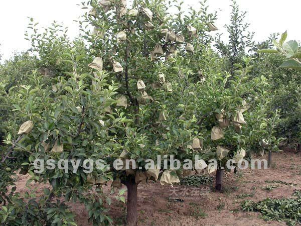 import fruit qinguan apple