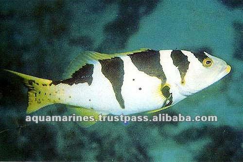 79 cat_marine_grouper_153a