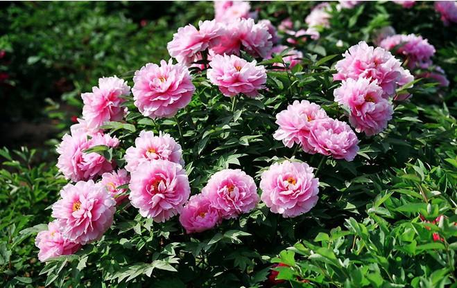 jardim rosas de saron: de flores plantadores de DIY jardim de casa de confiança sementes de