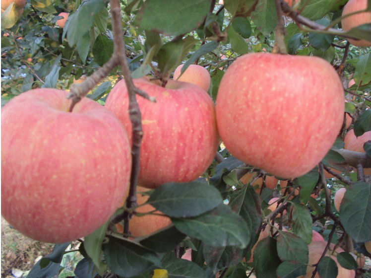 chinese fresh apple lowest factory prices apple fruit India standard