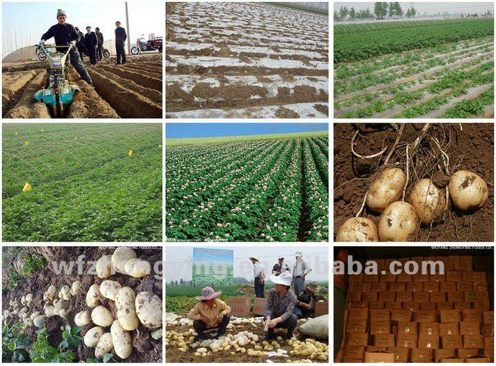 2014 Shandong new crop Fresh Potato in Various Pack