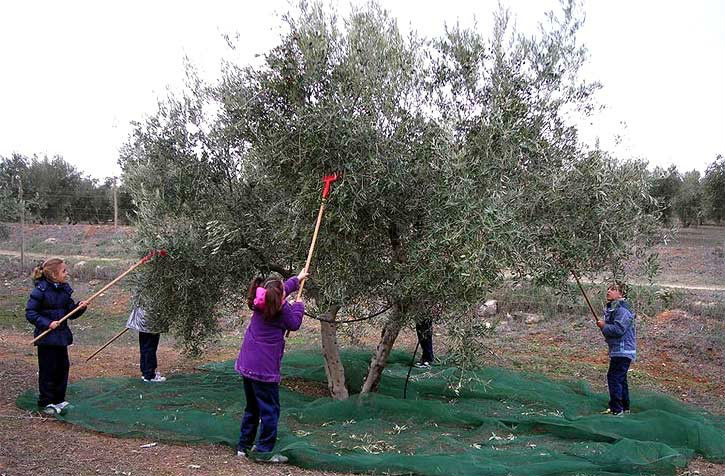 Children-Harvesting-Olives.jpg
