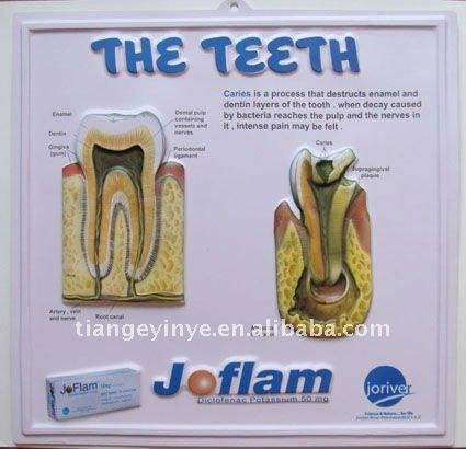 Dentes humanos Anatomia Gráficos