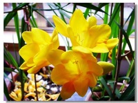 The World Famous Flower Seeds  Freesia Flower Seedball  Roots Easly Plant Free shipping