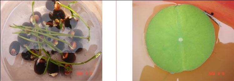 Голубой лотос Семена водных растений Кувшинка семена Бонсай растений семена для дома & Сад 50 семян/сумка