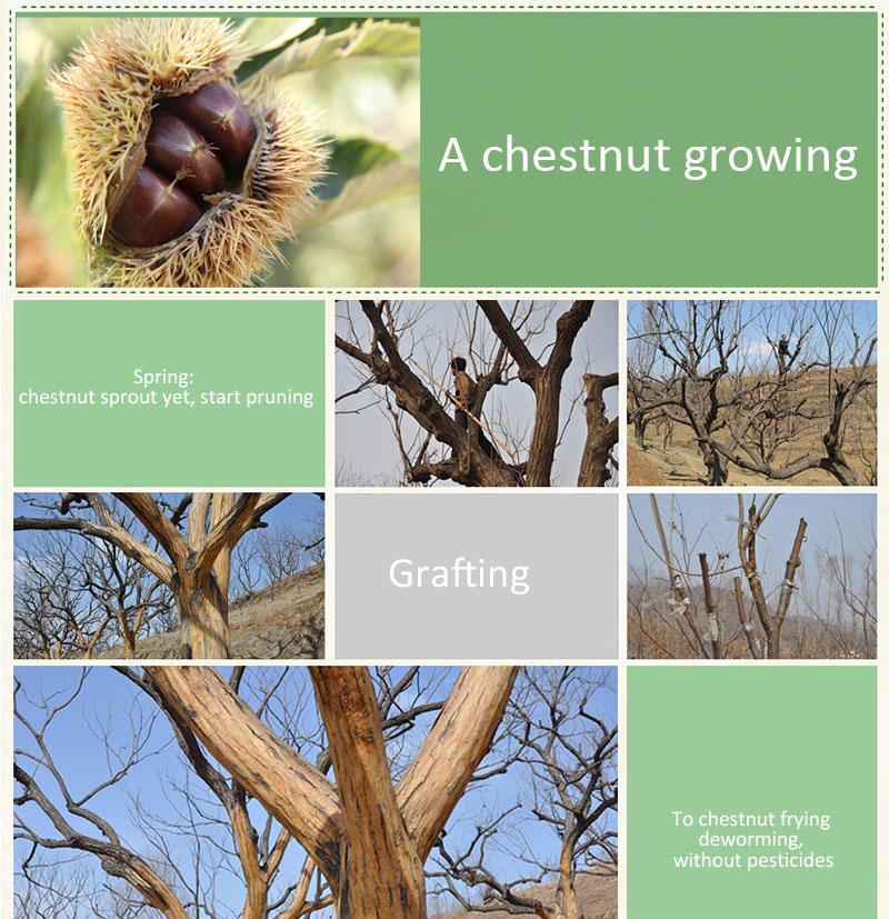 Buy organic fresh chestnuts