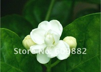 Карликовое дерево jasmine flower seeds 60 pcs per bag white jasmine Seeds, Flower seeds