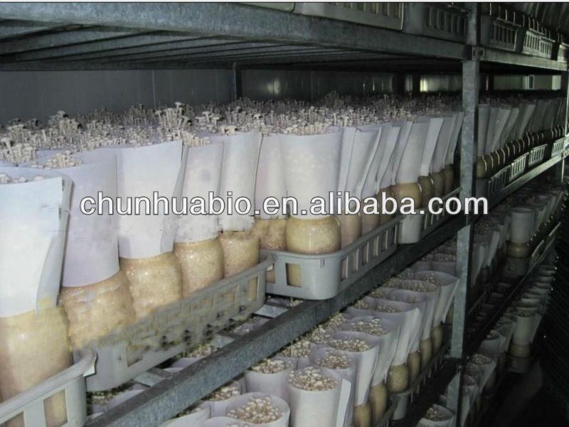 Milky Mushroom Cultivation Enokitake Enoki Mushroom