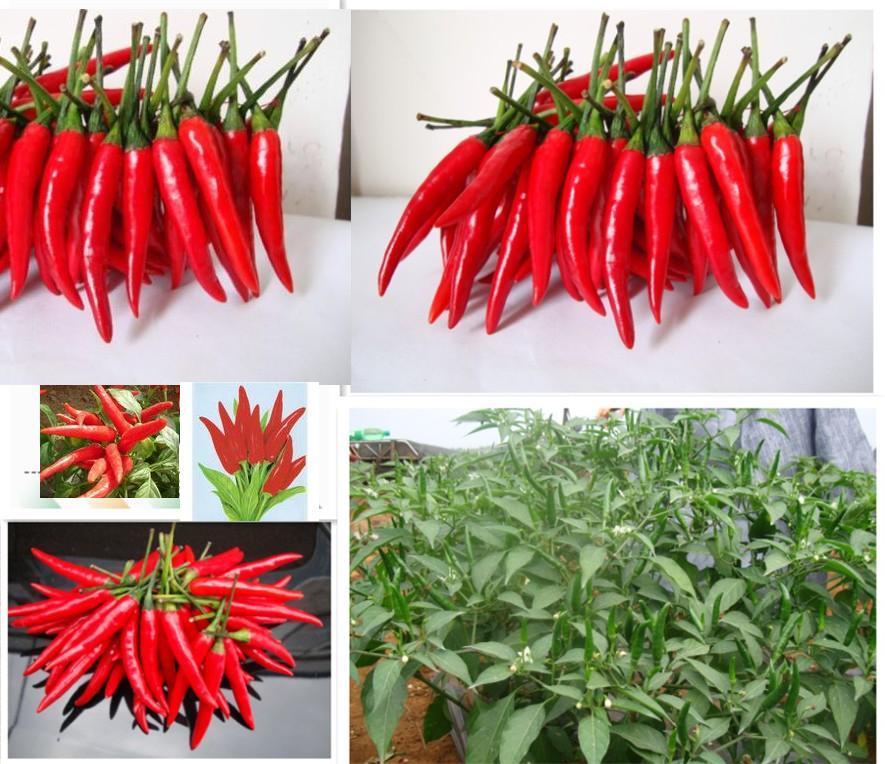 Семена перца чили для выращивания 819