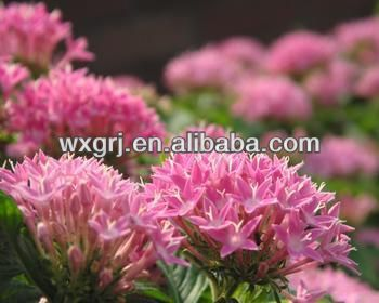 High quality Rhodiola Rosea Herbal Extract ON SELL with good price