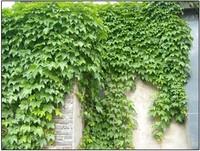 Карликовое дерево 40pcs/diy