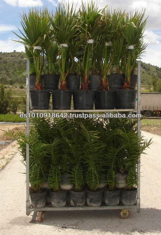 canariensis de 80 100 en 5 litres pot usines bois 233 es id de produit 150717778