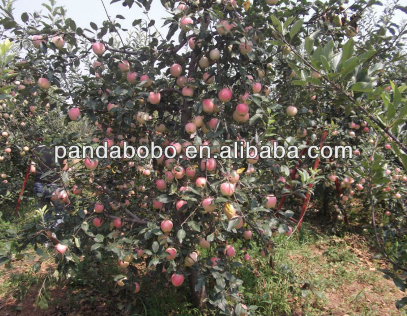 chinese fresh gala apple fruit hot sale in middle east