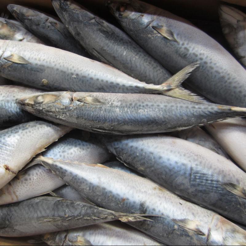 frozen fish pacific mackerel