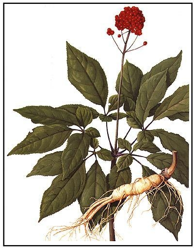 Rare Jilin Changbaishan mountain Red Ginseng
