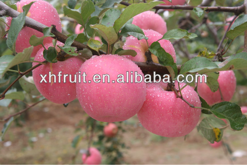 Export Fresh Red Delicious Apple Fruit Fresh Red Fuji Apple
