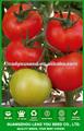 JT23 Yise plantación determinada semillas de tomate de alto rendimiento para el efecto invernadero