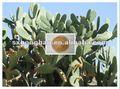 100% natural 10:1 20:1 cactus/opuntia extracto de cactus