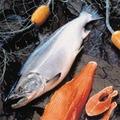 congelado salmón