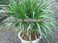 extracto de yuca saponina hierba en polvo de la planta