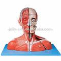 La cabeza y el cuello con los vasos sanguíneos, los nervios y el cerebro