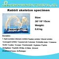 conejo conservado esqueleto esqueleto modelo para la enseñanza médica y para la agricultura