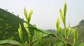 El epigalocatequin galato (EGCG) 90% ~ 95% El extracto de té verde