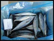 mer congelés maquereau poisson, Scomber japonicus lumière capture