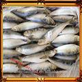 para la venta de pescado sardina congelada