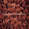 /p-detail/plantas-nativas-puro-aceite-de-an%C3%ADs-estrella-300004250923.html