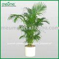 """En macetas de interior los árboles de palma - chrysalidocarpus lutescens"""" palma de areca"""""""