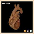 las cámaras de corazón anatómico especímenes