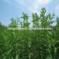Blanc sucre de stevia/stevia leaf extract/substitut du sucre