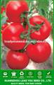 Resistencia f1 semillas de tomate híbrido JT09 Fugui TYLCV, mejores semillas de tomate