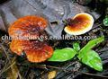 Herbaltea/de ganoderma lucidum