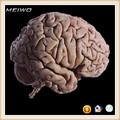 el cerebro especímenes plastinados