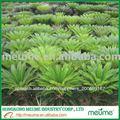 de árboles tropicales cycas revoluta sago el árbol de palma de vivero