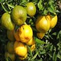 fruta china de frutas de naranja