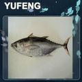 atún del Pacífico congelados (tonggol tuna)